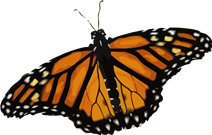 butterfly-156935_960_720.png